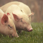 artgerechte Tierhaltung - Voraussetzung für Qualität und Geschmack